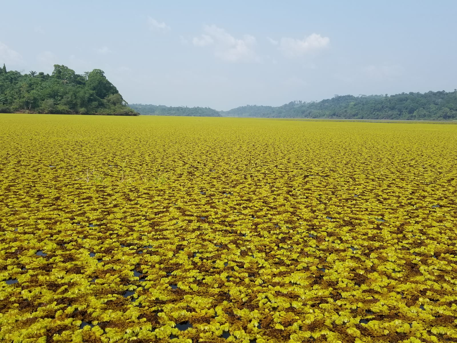 What's happening now with the Salvinia plant at Lake Ossa?